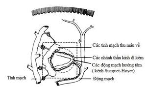 U cuộn mạch: đặc điểm giải phẫu, vai trò sinh lý, chẩn đoán và điều trị